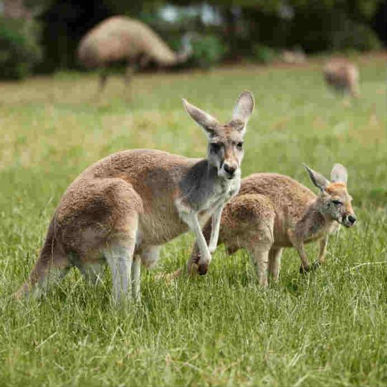 Male kangaroos can be as high as two meters tall and land two strikes at one. Stay away from these hopping marsupials.