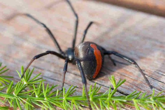 Red-back spiders can give you a venomous and agonising bite when you least expect it.