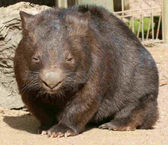 Wombats are heavy and can be very tempered. It's best to stay away.