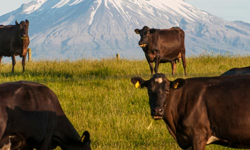 cows-in-nz